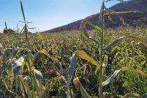 Llaman a tomar medidas preventivas para evitar daños en cultivos por bajas temperaturas y heladas en valles interiores